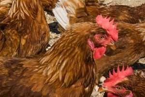 Le galline allevate nella fattoria Cupidi