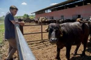 L'allevamento di bufale nel parco della Marcigliana