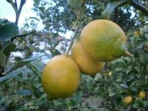 I limoni siciliani